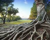 Big root tree in green park — Stock Photo