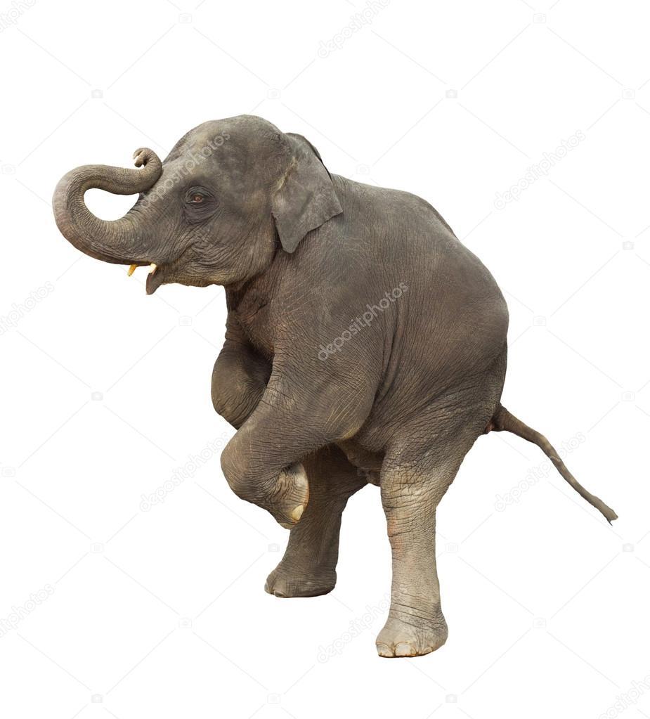 baby elephant white background wwwimgkidcom the