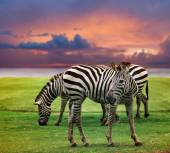 Wild zebra standing in green grass field against beautiful dusky — Stock Photo