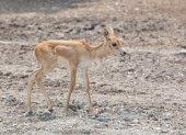 Young baby deer in open field — Zdjęcie stockowe