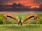 Two male thomson's gazelle fighting by horn in green grass field — Stock Photo