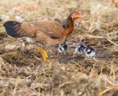 курица курица домашнего скота кормления ребенка курица на фьель — Стоковое фото