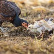 Thai domestic chicken hen feeding with baby chicken on rural gro — Stock Photo #55704387