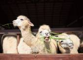 Close up face of llama alpacas eating ruzi grass show lower toot — Stock Photo