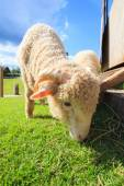 Close up face of merino sheep eating green grass in ranch field  — Stock Photo