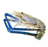 Fresh water shrimp prawn isolated white background — Stock Photo