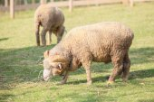 Full body of male merino sheep feeding green grass in ranch live — Stock Photo