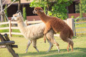 Brown and light brown llama alpacas mating in ranch farm field — Stock Photo