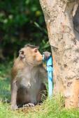 Monkey drinking clean water from tube for lovely and animals in  — Stock Photo