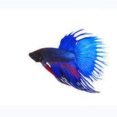 Side view of beautiful blue crown tail siamese thai betta fighti — Stock Photo