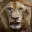 Close up face of male lion dangerous african safari animals king — Stock Photo #59070859