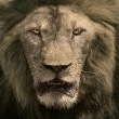 Close up face of male lion dangerous african safari animals king — Stock Photo #59130043