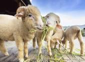 Merino sheep eating ruzi grass leaves on wood ground of rural ra — Stock Photo