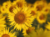 Close up of yellow sunflowers blooming in field with beautiful l — Stock Photo