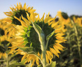 Close up rear view of yellow sunflowers in agriculture field — Stock Photo