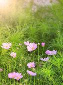 Couleur violette de fleurs cosmos en utilisation sur le terrain des feuilles vertes comme natu — Photo