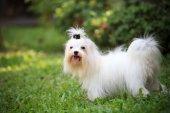 Maltese dog in field — Zdjęcie stockowe