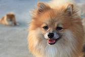 Face of pomeranian dog — Stock Photo