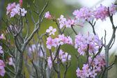 natural photo close up pink desert rose petal with shallow dept — Stock Photo