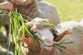Hand feeding ruzi grass for merino sheep in farm — Stock Photo