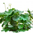 Green leaves of lotus tree in pond isolated on white background — Stock Photo #63615121