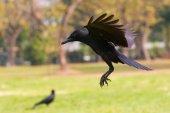 Black birds crow flying (howering)  on mid air prepare to landin — Stock Photo