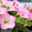 Close up lovely pink petunia flowers in green house plantation w — Stock Photo #64835131