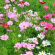 Close up beautiful colorful of cosmos flowers field in plantatio — Stock Photo #64951571