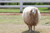 Face of merino sheep in ranch farm use for farm animals and live — Stock Photo