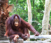 Nära håll hela kroppen och ansiktet på borneo orangutang — Stockfoto