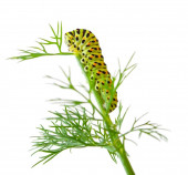 The Caterpillar of the Machaon Butterfly — Stock Photo