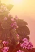 Art Background with  African Violet — Stok fotoğraf