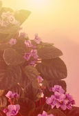Art Background with  African Violet — Stockfoto