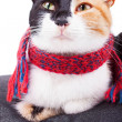 Calico Cat in Red Scarf — Stock Photo #56719265