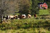 Grazing cows in old rural landscape — Stock Photo