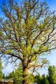 Ginst oak tree in full bloom and glory — Stock Photo