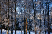 Frosty birch-trees in winter time — Stock Photo