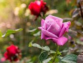 Beautiful violet rose in a garden — Foto de Stock