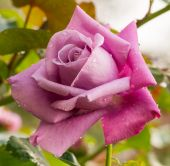 Beautiful violet rose in a garden — Stock Photo