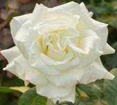 Beautiful white rose in a garden — Stock Photo