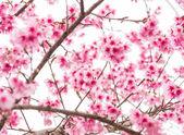 Thai Sakura in winter on tree, prunus cerasoides — Stock Photo