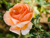 Beautiful orange rose in a garden — Stock Photo