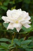 красивые белые розы в саду — Стоковое фото