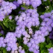 Beautiful bluish violet Ageratum in the flower bed — Stock Photo #63866535