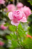 Beautiful pink rose in a garden — Stock Photo