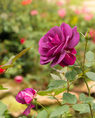 Beautiful violet rose in a garden — Stockfoto