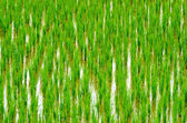 Young rice sprout  — Stock Photo