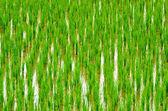 Germoglio di riso — Foto Stock