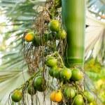Closeup ripe areca nut or Areca catechu, raw betel nut — Stock Photo #67497115