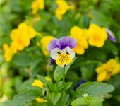 Pensies flowers, viola tricolor pansy — Stock Photo
